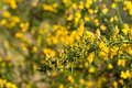 Budding branch of a common broom shrub yellow and blooming scotch or cytisus scoparius in the early spring season Stock Photos