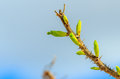 Budding branch a thorny is seen with green buds set against a blurred out cloudy and blue sky there is another out of focus Stock Photos