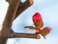 Budding bud in january serbia climate change Stock Image