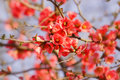 Budding and flowering blooming fruit tree Royalty Free Stock Image