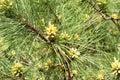 Budding Pine Tree Royalty Free Stock Photo
