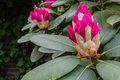 Budding Rhododendron buds from close Royalty Free Stock Photo