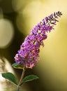 Buddleia, Butterfly Bush. Royalty Free Stock Photo
