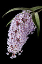 Buddleia illuminated by strong sidelight a panicle sidelighting focus is sharp on the front flowers Stock Photography