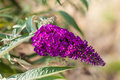 Buddleja macro shot of the beautiful flower with some green leaves Stock Image