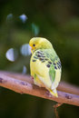Budgerigar green resting on a branch Royalty Free Stock Photo