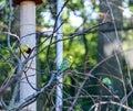 Budgerigar of natural coloration. Melopsittacus undulatus