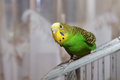 Budgerigar wavy parrot sits on a cage Royalty Free Stock Images