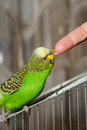 Budgerigar wavy parrot sits on a cage Stock Photos