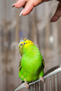 Budgerigar wavy parrot sits on a cage Royalty Free Stock Photo