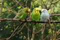 Budgerigars melopsittacus undulatus sitting on branch Stock Images