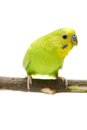 Budgie female on white isolated the background Stock Photos