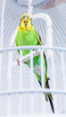 Budgie In His Cage