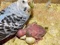 Budgie Mother & Baby Stock Image
