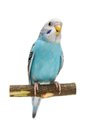 Budgie mounths on white isolated the background Stock Photography