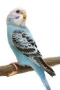 Budgie mounths on white isolated the background Stock Images