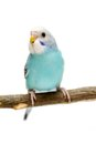 Budgie mounths on white isolated the background Stock Photos
