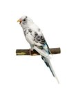 Budgie mounths on white isolated the background Royalty Free Stock Photography