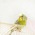 Budgie wavy parrot sits on a cage Royalty Free Stock Image