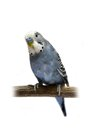 Budgie years old on white isolated background Stock Photography