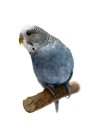 Budgie years old on white isolated background Stock Photo