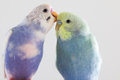 Budgies grooming one budgie another with its beak Royalty Free Stock Photos