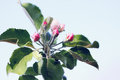Buds on apple beautiful blooming flowers tree branch Stock Photo