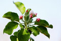 Buds apple tree beautiful blooming flowers on branch Stock Images