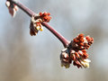 Buds on apple tree in spring day close up Stock Photos