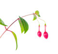 Buds of fuchsia flower unusual form is isolated on the white bac Royalty Free Stock Photo