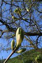 Knospen Er Ahorn Baum nur Öffnen