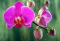 Buds pink orchid flower green blurred background Royalty Free Stock Photography