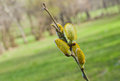 Buds of pussy willow in spring season against natural background Royalty Free Stock Photography