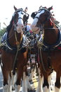 Budweiser clydesdales Royalty Free Stock Photo
