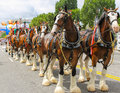 Budweiser Clydesdales getting ready to parade Royalty Free Stock Photo