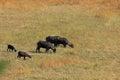 Bufallo grassland buffalos grazing on a hill Royalty Free Stock Photos