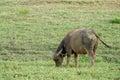 Bufallo grazing on farmland urban Royalty Free Stock Photography