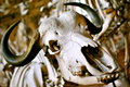 Bufallo head skull close up buffalo with curved horns Royalty Free Stock Photography