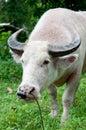 Bufalo dell'albino (bufalo bianco) che osserva alla macchina fotografica Fotografia Stock Libera da Diritti