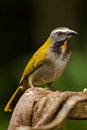 Buff Throated Saltator Royalty Free Stock Photos