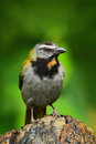 Buff-throated Saltator, Saltator maximus, exotic bird sitting on the branch in the green forest. Tropic tanager in the nature habi Royalty Free Stock Photo