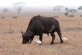 Buffalo africain Photo stock
