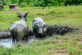 Buffalo bath takes a cooling dip in a mud Stock Photography