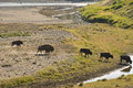 Buffalo bison crossing a river in lamar valley yellowstone usa Royalty Free Stock Photos