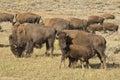 Buffalo Bison in Yellowstone Royalty Free Stock Photo