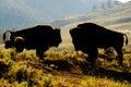 Buffalo Bison in Yellowstone sunset Royalty Free Stock Photo