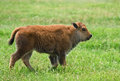 Buffalo calf cheerful looking american bison or walking on the meadow Royalty Free Stock Image