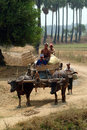 Buffalo carts towed in myanmar field mandalay march unidentified farmer riding on their cart carrying of crops from the farm to a Stock Photography