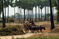 Buffalo carts towed in myanmar field mandalay march unidentified farmer riding on their cart carrying of crops from the farm to a Royalty Free Stock Photos