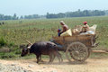 Buffalo carts towed in myanmar field mandalay march unidentified farmer riding on their cart carrying of crops from the farm to a Stock Images